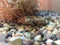 Гремучник Стефани (Crotalus mitchellii stephensi)